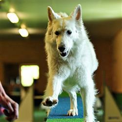 Hund beim balancieren über eine Rampe - Agility Kurse in Bayern