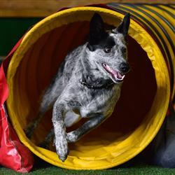 Hund beim Durchgehen eines Plastiktunnels - Agility Kurse im Hundesporthotel